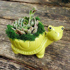 Echeveria Succulent in Ceramic Turtle Planter